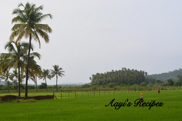 Paddy fields at my hometown